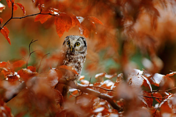 Owl in the orange forest. Boreal owl, Aegolius funereus, in the orange larch autumn forest in central Europe, detail portrait in the nature habitat, Czech Republic. Beautiful little bird in the forest stock photo