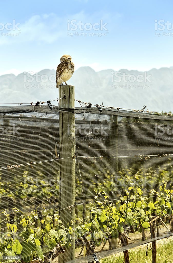 Owl in the vineyard stock photo