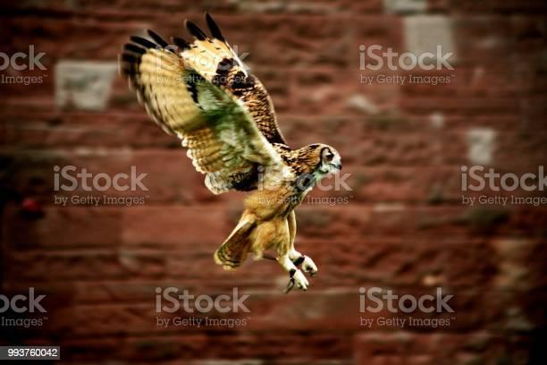 Owl landing picture id993760042?b=1&k=6&m=993760042&s=612x612&h=iwl6xnqyy81crgh2bfogqj6xlixpkdprv8z oaeug58=