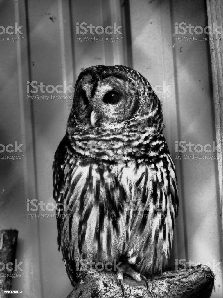 Owl look this way stock photo