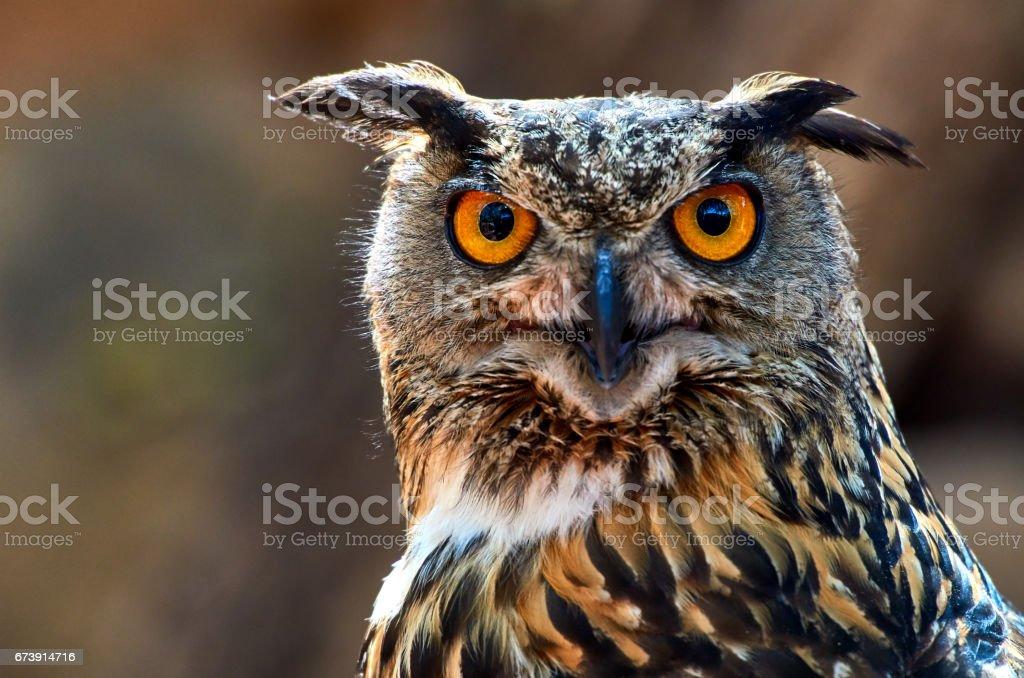 owl looking at camera stock photo