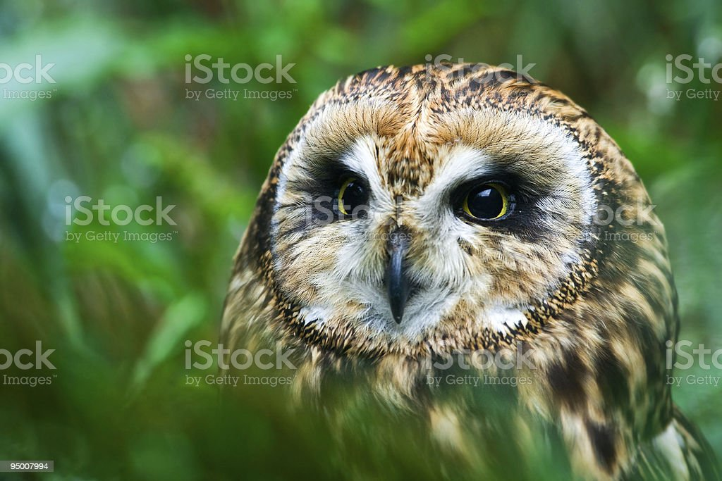 Owl Looking For Pray royalty-free stock photo