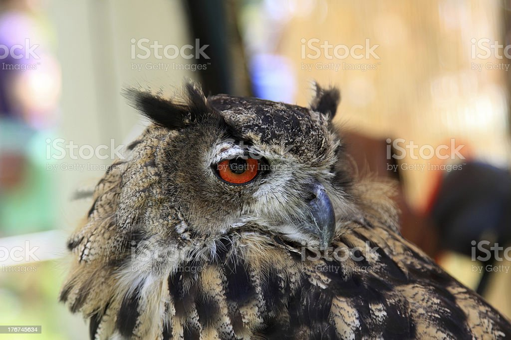 owl looking royalty-free stock photo