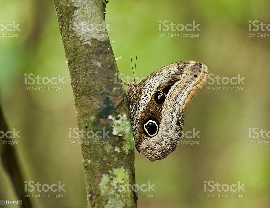 Owl Moth royalty-free stock photo