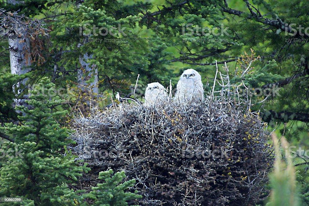 Owl nest royalty-free stock photo