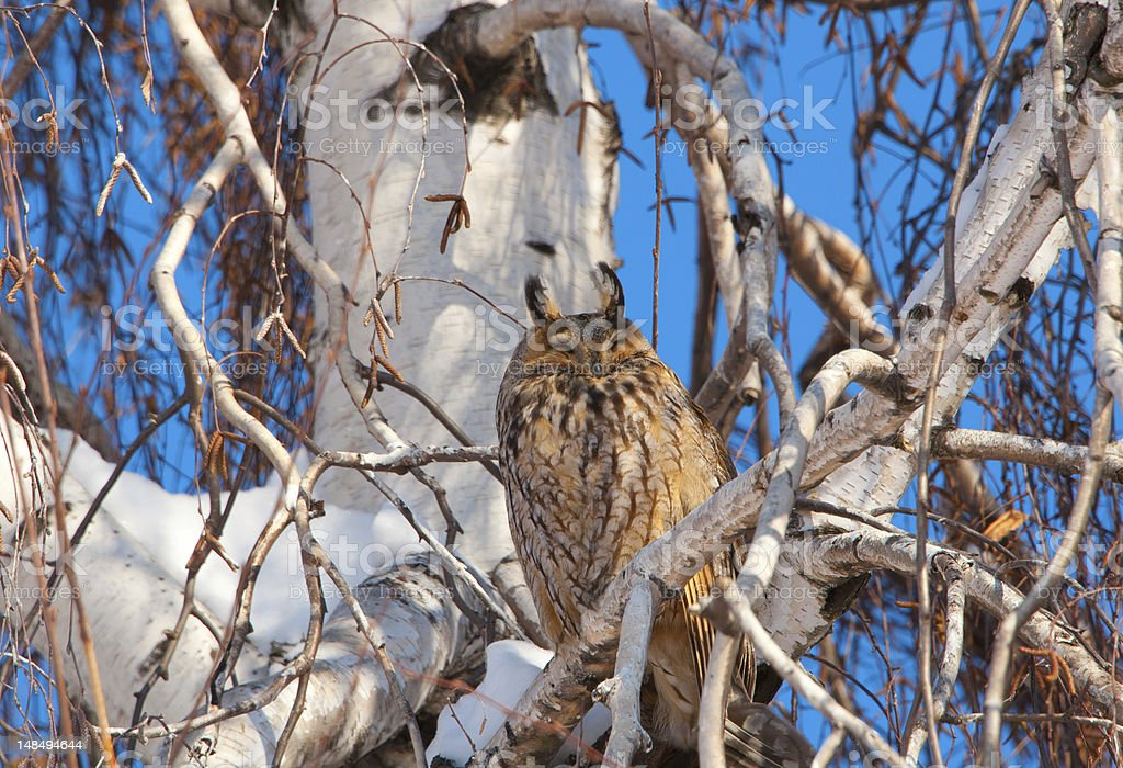 owl on a tree royalty-free stock photo