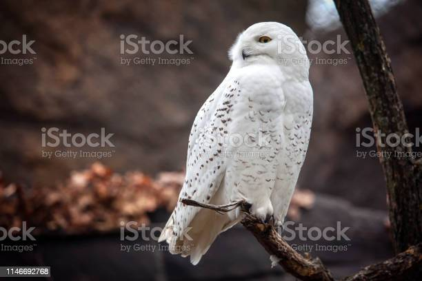 Owl on the branch picture id1146692768?b=1&k=6&m=1146692768&s=612x612&h=erhwhvmjvx3oan3ojgcj9ath1k6lbm8qabhgqme6gus=