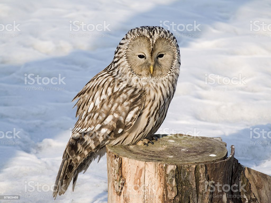 Owl on the stub royalty-free stock photo