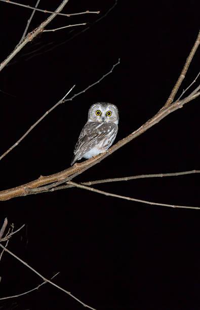 Owl on tree at night picture id637014788?b=1&k=6&m=637014788&s=612x612&w=0&h=iydtepwpaxfwtkvp8 j07og gxfrjuzvshxkb5h9sda=