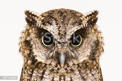 Photograph of Owl, in high resolution, isolated.