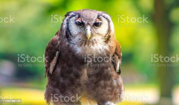 Owl picture id1129796126?b=1&k=6&m=1129796126&s=612x612&h=eedhvabl1w8ejsgxgpc6vhjntarkfm44lmtpj0nm5xm=