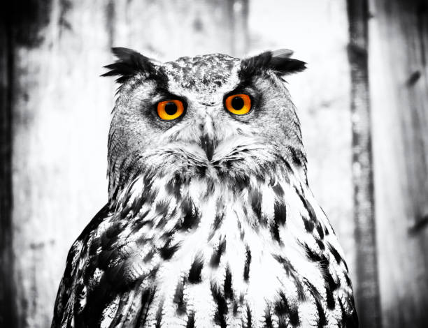 Owl picture id1149105724?b=1&k=6&m=1149105724&s=612x612&w=0&h=1wz4kuumh fyvqs2csetjffor6nlortfrad1iicolmm=