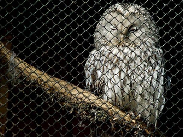 chouette - cage animal nuit photos et images de collection