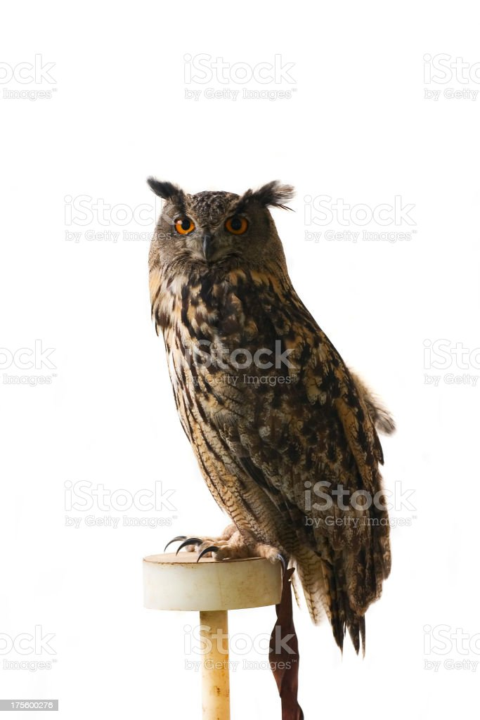 Owl royalty-free stock photo