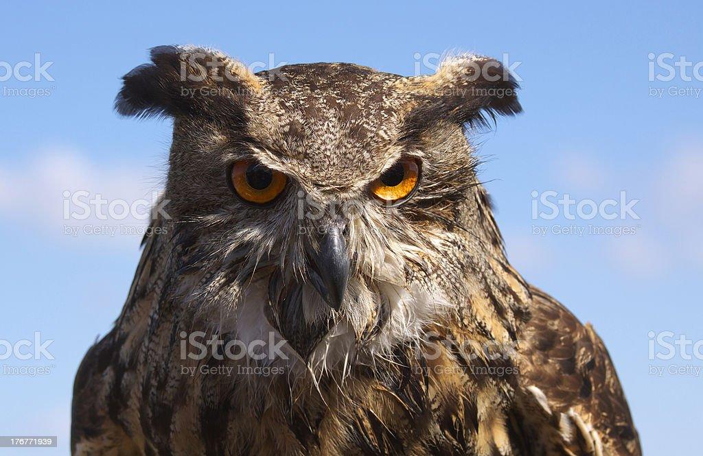 owl royalty-free stock photo