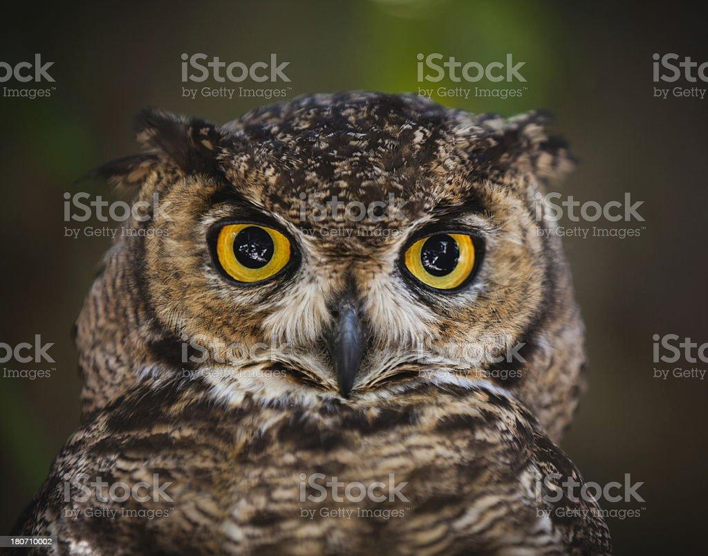 Owl foto