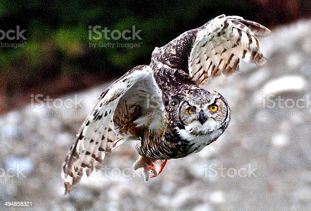 Owl picture id494858321?b=1&k=6&m=494858321&s=612x612&h=sa8z1ps7lsijnsooi3te7pm5185e0lwcyvds7n8 se0=