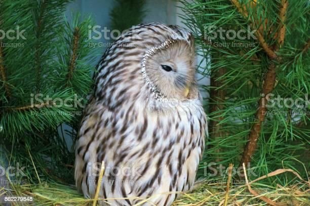 Owl picture id862279848?b=1&k=6&m=862279848&s=612x612&h=hx2weelazkzasx2ivn5 kgsj0kzjogim xsxezfyiqy=