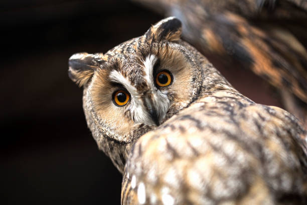 owl - owl stock photos and pictures