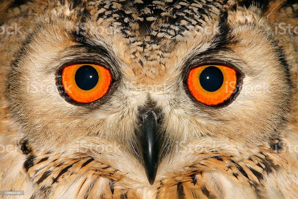 Owl portrait royalty-free stock photo