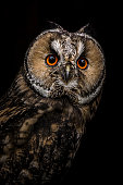Close up of eurasian eagle owl against black background
