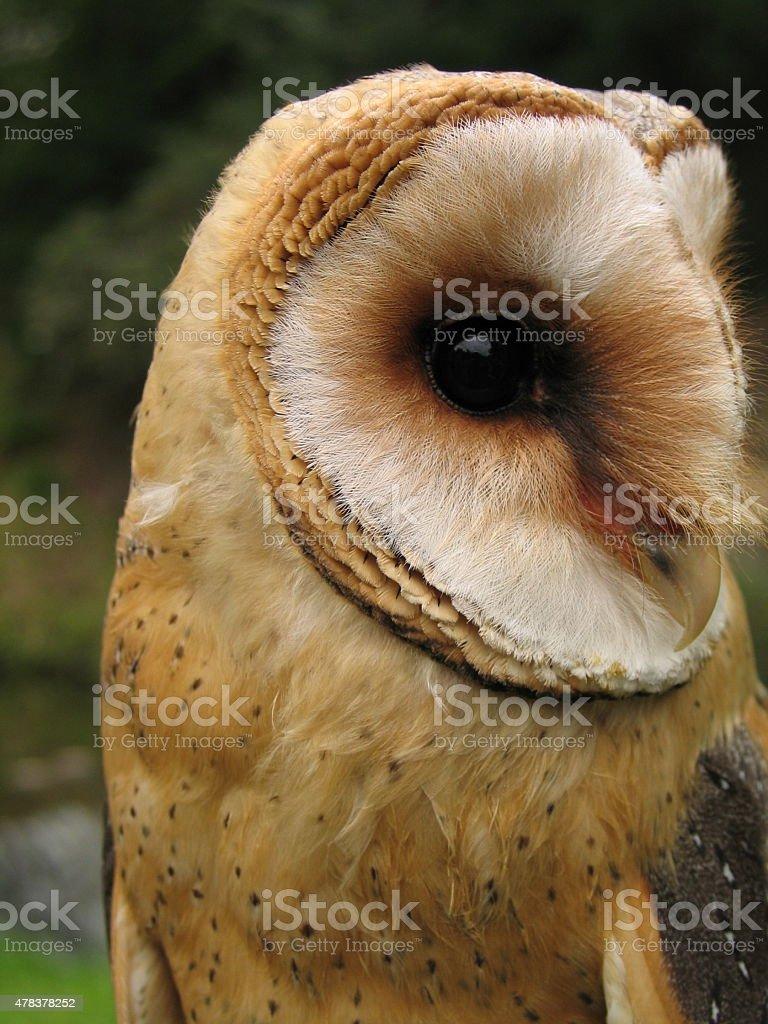 Owl portrait - species Tyto alba stock photo