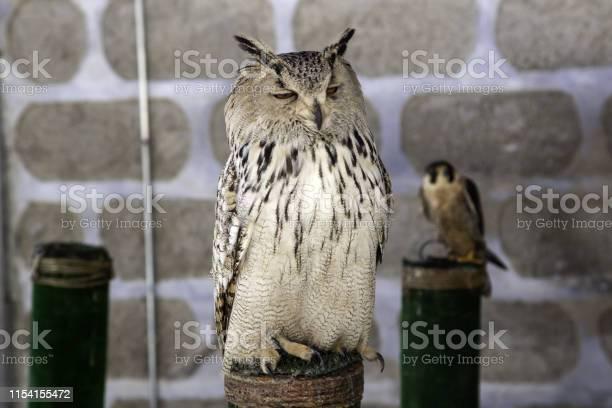 Owl real falconry picture id1154155472?b=1&k=6&m=1154155472&s=612x612&h=t idmqenbfydu3cclidlkucpy lrryuncnhdlwn7k y=