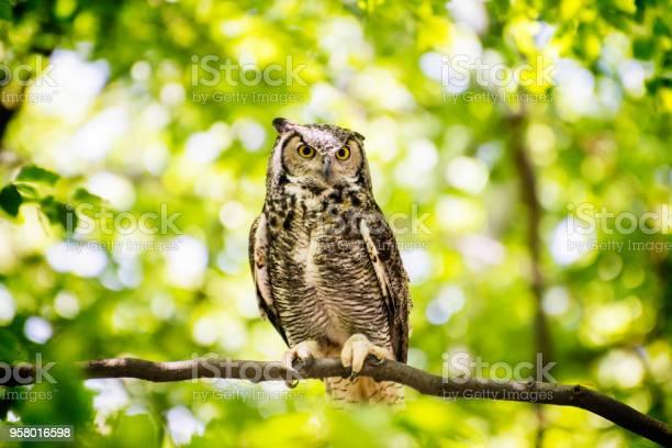 Owl sitting in forest picture id958016598?b=1&k=6&m=958016598&s=612x612&h=rtqsgh4 tatzsjtdfunuibhytcffmjoigtxkdulf4ye=