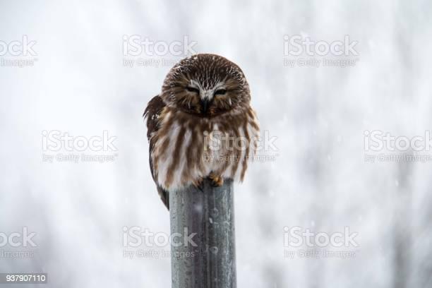 Owl sleeping picture id937907110?b=1&k=6&m=937907110&s=612x612&h=29eqcqlggjtfvjmawomv4gkwhsbpvbthuv31bqkmo5o=