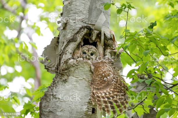 Photo of Owl spreading her large wing out from a hole in a birch tree