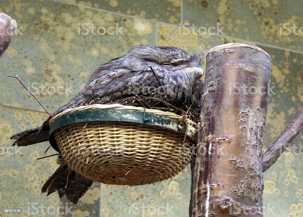 Owl Swallow royalty-free stock photo