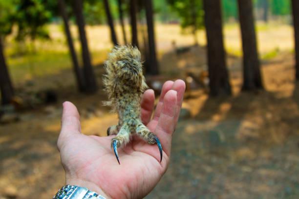Owl talon on hand stock photo