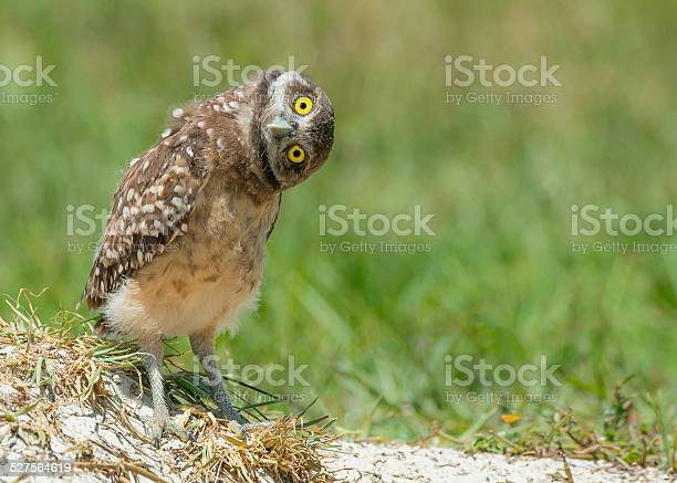 Owl tilting head listening with big open yellow eyes picture id527564619?b=1&k=6&m=527564619&s=612x612&h=icftrkbwvjygwfulyppncciicmnp6emfc9swqepck8m=