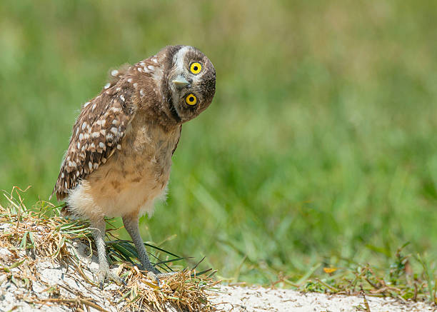 owl tilting head listening with big open yellow eyes - owl stock photos and pictures