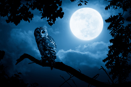 Owl Watches Intently Illuminated By Full Moon
