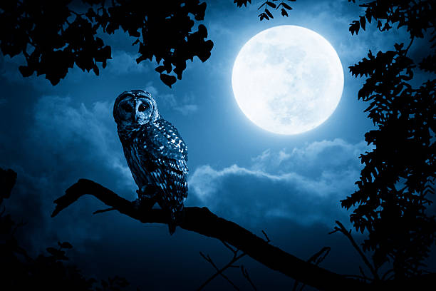 owl watches intently illuminated by full moon - owl stock photos and pictures