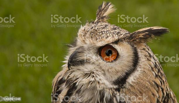 Owl with large eyes used for night vision picture id1066591046?b=1&k=6&m=1066591046&s=612x612&h=pxszrwnsveaninqhoigikelfi7ufssev7odqk6lxaa4=