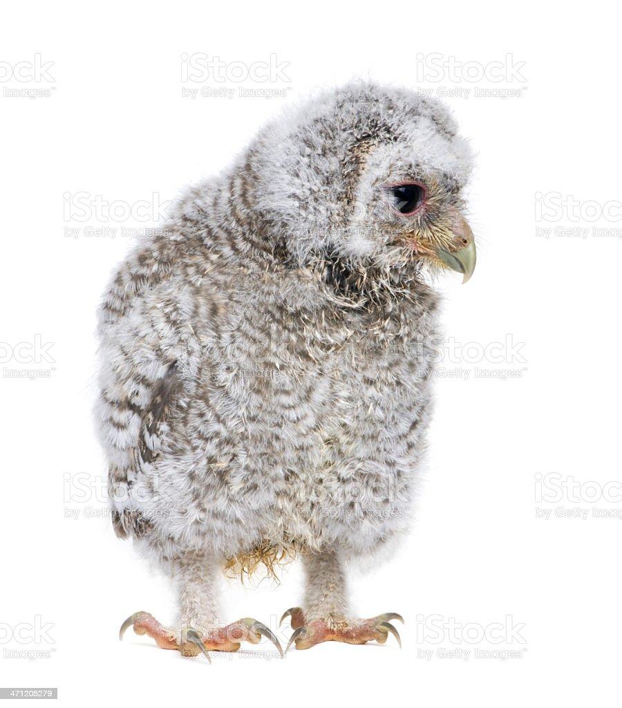 Owlet- Athene noctua (4 weeks old) royalty-free stock photo