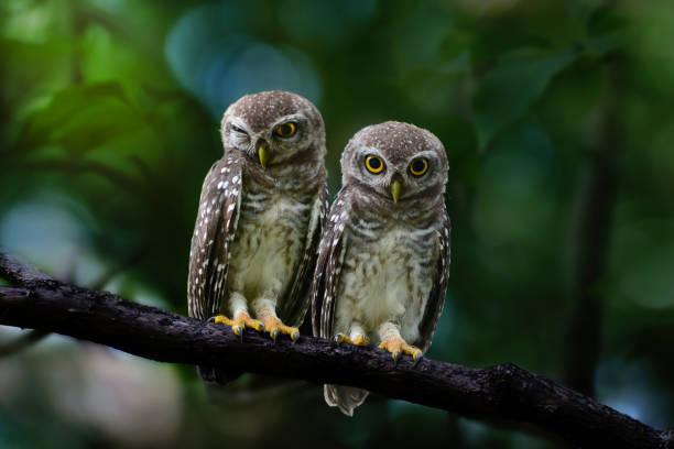 Owlet sibling bird at twilight picture id938166854?b=1&k=6&m=938166854&s=612x612&w=0&h=gseysi9rmvrsoadjqq7lsoyz glv yysua8615rk6be=