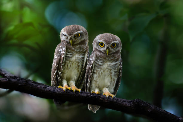 owlet sibling  bird at twilight - owl stock photos and pictures