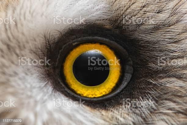 Owls eye closeup macro photo eye of the shorteared owl asio flammeus picture id1127715370?b=1&k=6&m=1127715370&s=612x612&h=qcr6ps8lmv2ah7o8nk3pyzhau4paspqkxtk8je szs4=