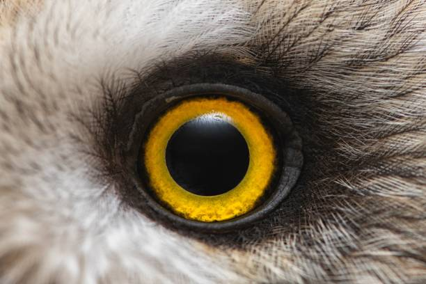 Owl's eye close-up, macro photo, Eye of the Short-eared Owl, Asio flammeus stock photo
