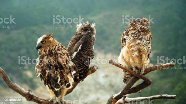 Owls on the branch picture id1091858386?b=1&k=6&m=1091858386&s=612x612&h=i 9hmp3zerem2zazbsekvyvqpjkz pnmztas9ljkbvs=
