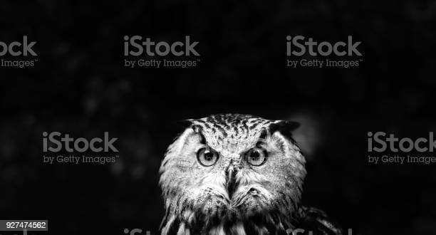 Owls portrait owl eyes picture id927474562?b=1&k=6&m=927474562&s=612x612&h=fpif8qldc8sxhel2hwld6ucgmwtlzkrl74kde4mjr4u=