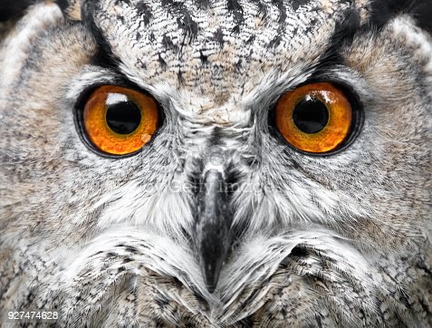 Owls Portrait. owl eyes