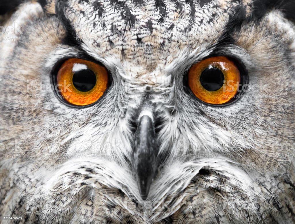 Owls Portrait. owl eyes stock photo