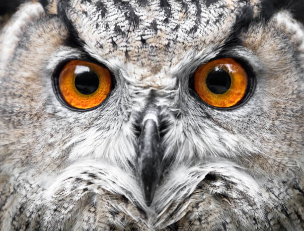 Owls Portrait. owl eyes stock photo