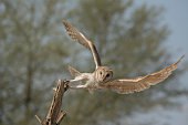barn owl , long eared owl ,short eared owl,  scoops owl and spotted owls are common species in Pakistan