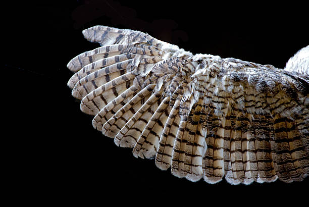 owl's wing... close-up - owl stock photos and pictures