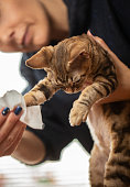 Owner Cleaning Dirty Kitten Paws After Using Litter Box, Devon Rex Cat